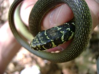 Vipere e colubri italia centrale ma non solo forum for Serpente frustone