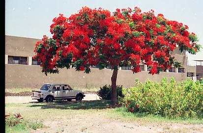 Delonix regia albero del cairo natura nel mondo for Acacia albero