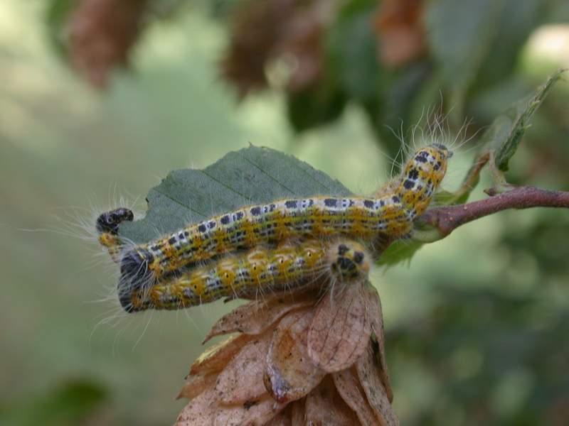 Bruchi di Phalera bucephala