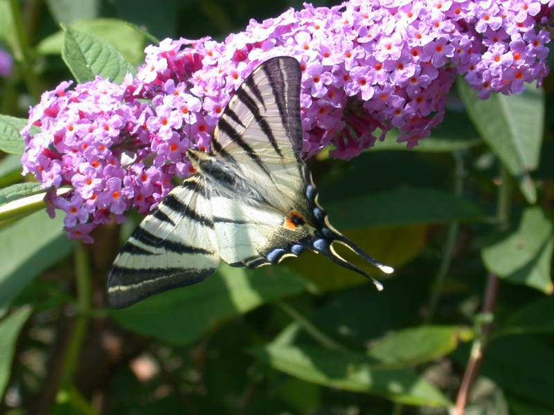 L''albero delle farfalle: la Buddleia davidii