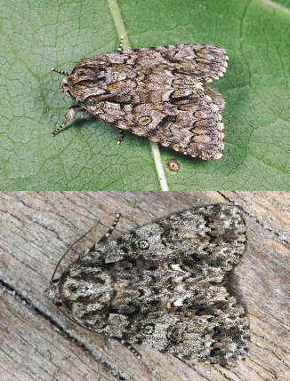 bruchi di Lasiocampa trifolii e Acronicta rumicis
