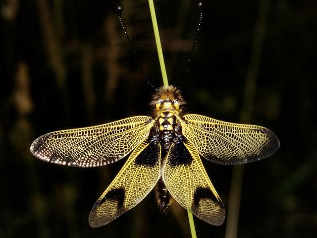 Libelloides macaronius