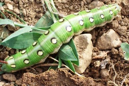 Bruco di Hyles livornica, Sphingidae