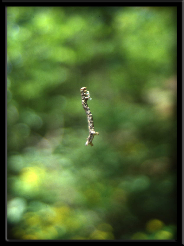 Bruco di Geometridae....dal Trentino