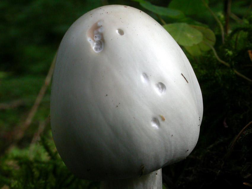 Amanita virosa (Lamark) Bertillon