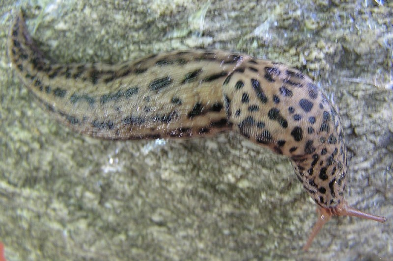 Limax maximus L. 1758 - Ischia (NA) & Chiavenna (SO)