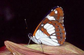 Limenitis reducta e Melitaea phoebe
