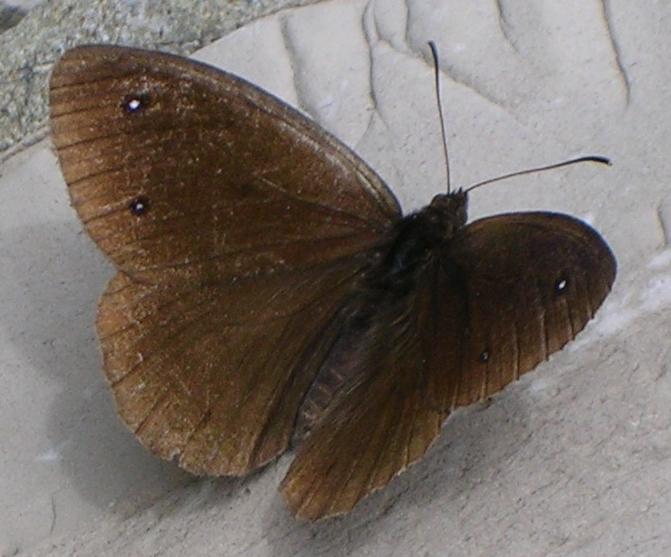 Polyommatus icarus, Satyrus ferula, Zygaena transalpina