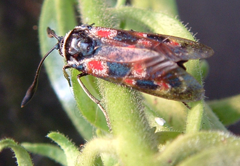 Bruco di Calophasia e Zygaena occitanica
