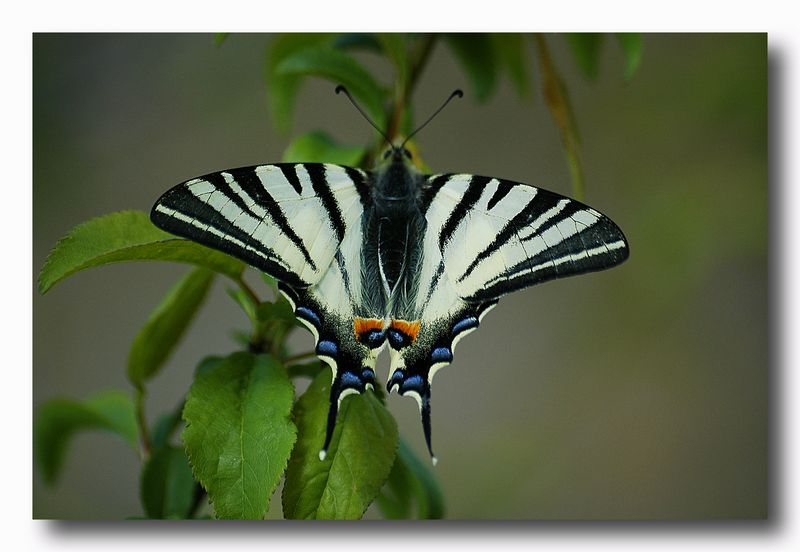 podalirio - Iphiclides podalirius