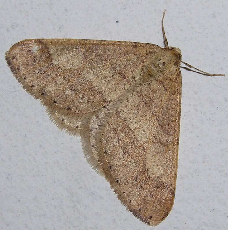 Agriopis marginaria (Geometridae)
