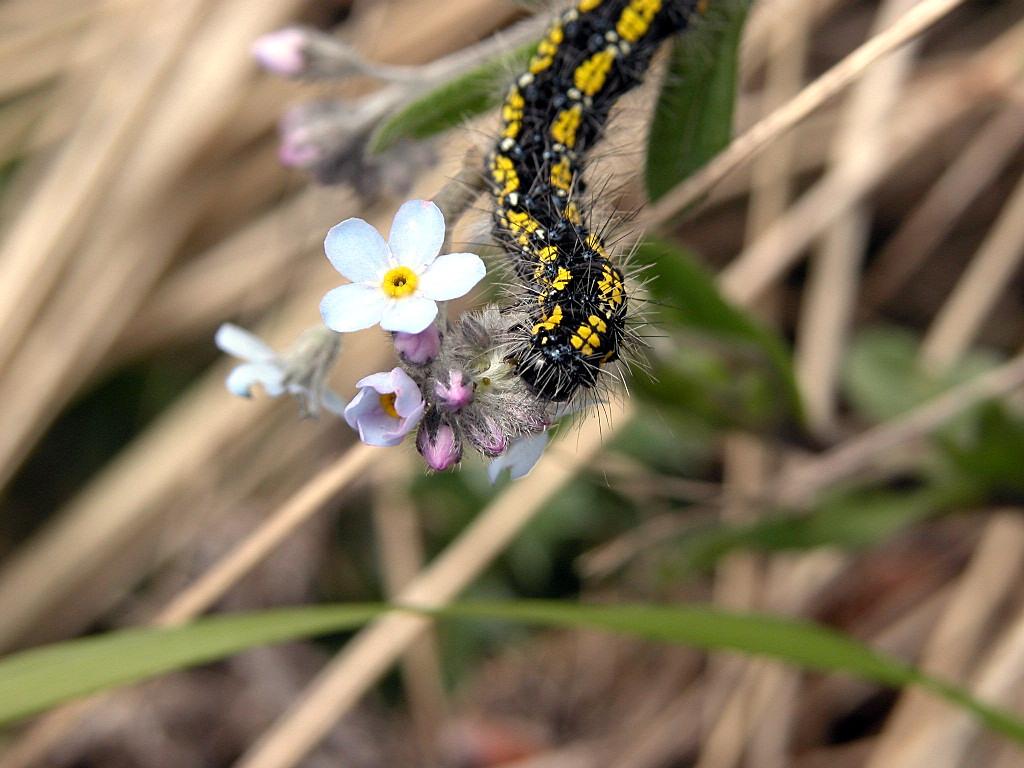 Bruco di Callimorpha dominula e Anthaxia helvetica