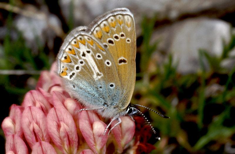 I tesori delle Madonie: Aricia eumedon (Lycaenidae)