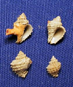 Coralliophile