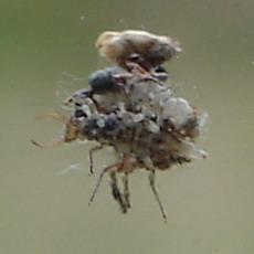 Larva di Dichochrysa sp.