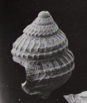 Coralliophila sp.