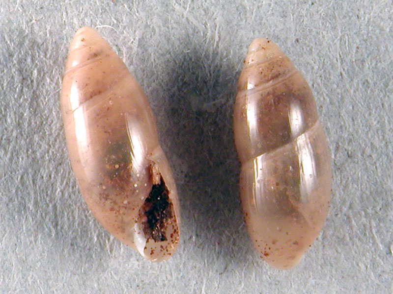 Ferussacia folliculus (GMELIM, 1791)