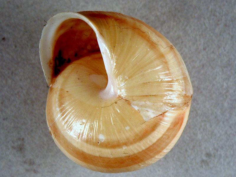 Cepaea (Cepaea) nemoralis (Linnaeus, 1758)