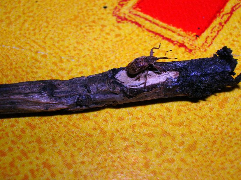 Furcipus rectirostris