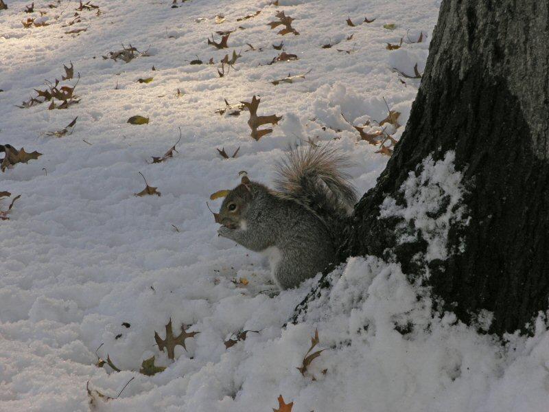 Scoiattolo grigio al Central Park (New York)