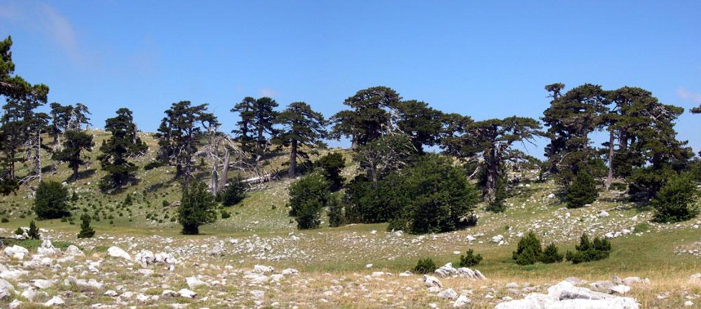 Pinus leucodermis pino loricato forum natura - Il giardino degli dei ...