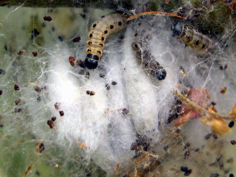 Bruco di Euproctis chrysorrhoea