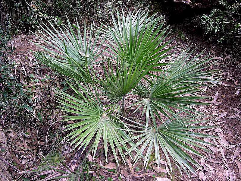 Chamaerops Humilis / Palma Nana
