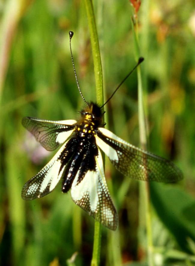 Libelloides baeticus (Planipennia, Ascalaphidae)