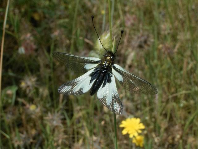 Libelloides coccajus, forma bianca
