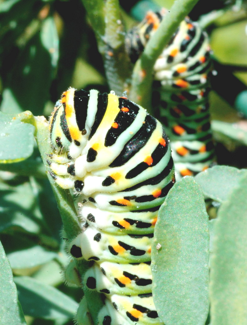 Bruco di Papilio machaon