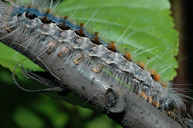 Bruco di Eriogaster rimicola