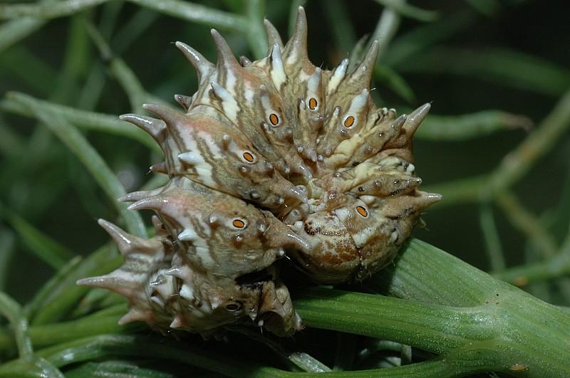 Bellissimo bruco di Apochima flabellaria