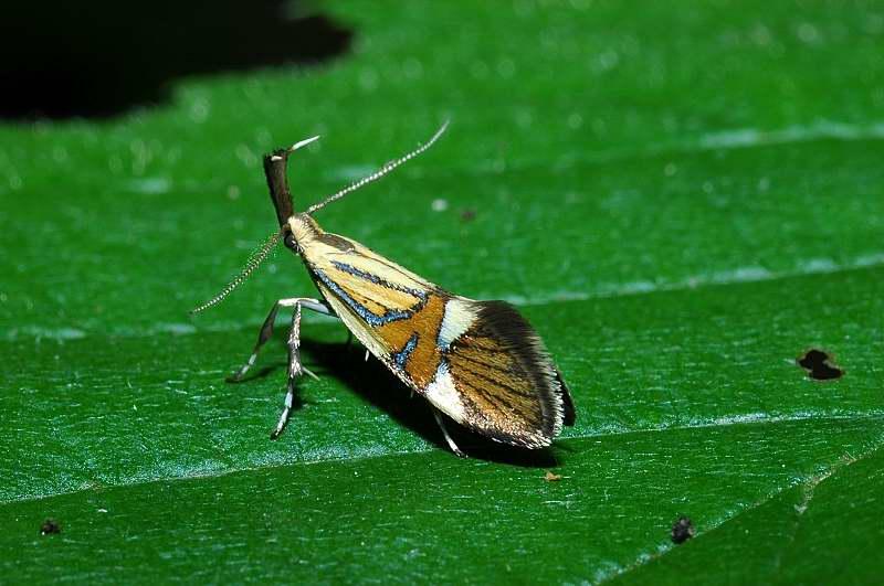 Farfallina mozzafiato: Alabonia geoffrella
