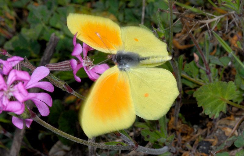 Farfalle diurne di primavera