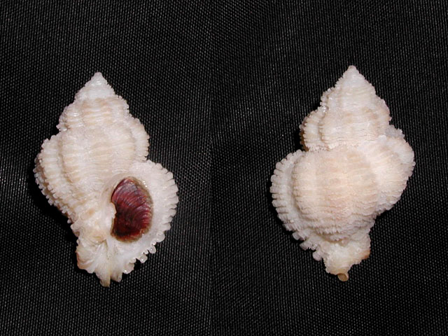 Coralliophila trigoi e C. panormitana