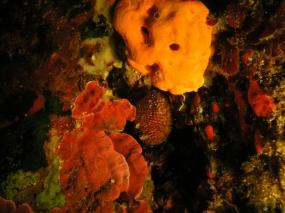 Coralliophila gilli