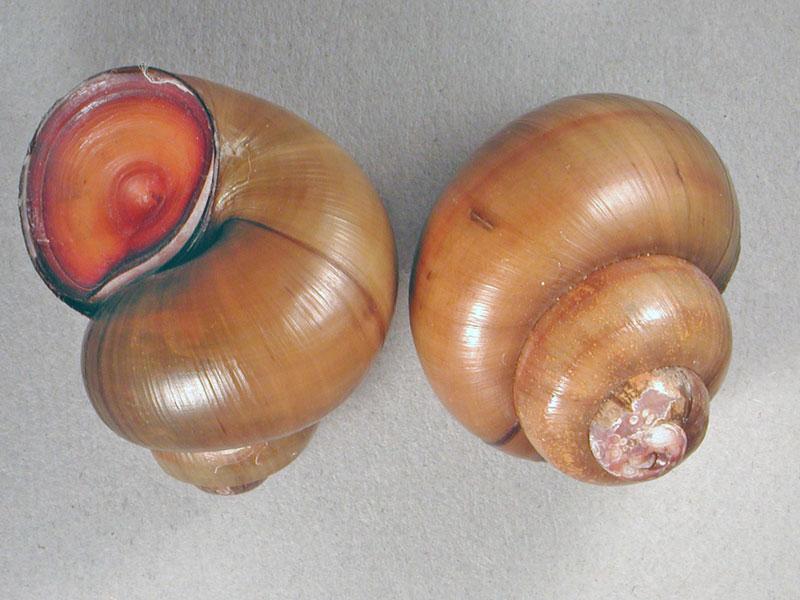 Viviparus sp.