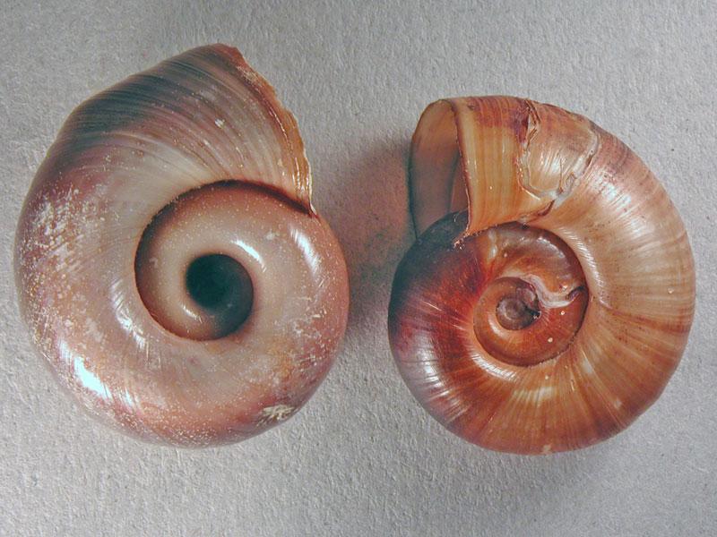 Chilostoma cingulatum colubrinum  & Planorbarius corneus