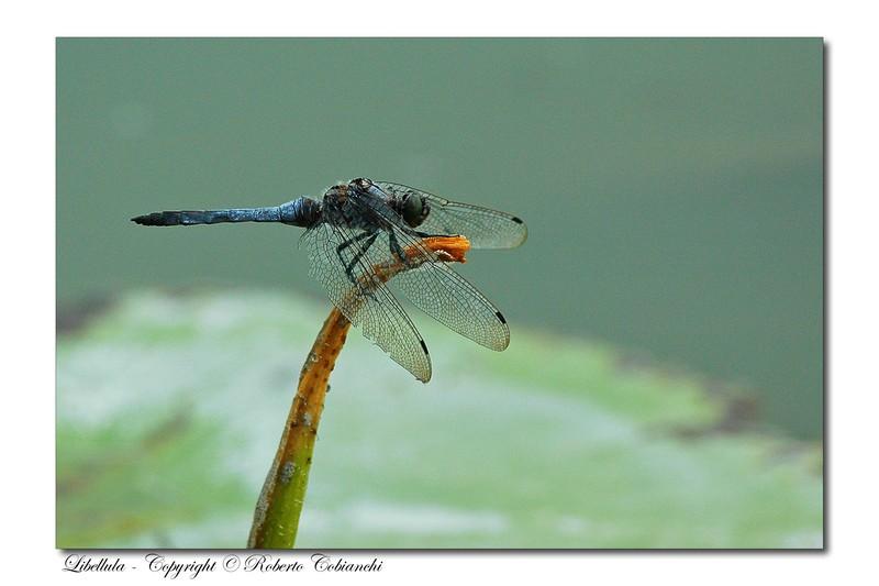 Platycnemis pennipes Orthetrum cancellatum Coenagrion puella