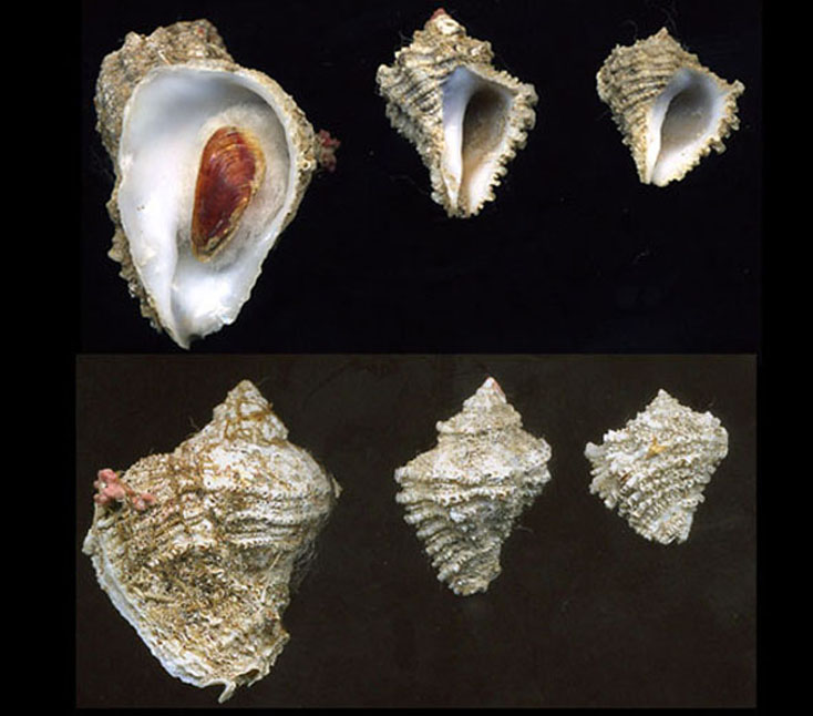 Coralliophila brevis da La Maddalena