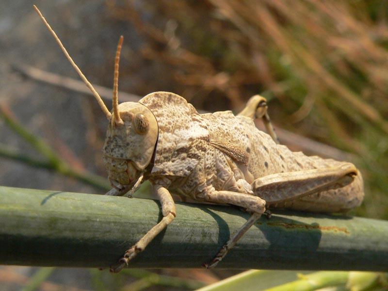 Un bel Pamphagidae: Acinipe calabra, femmina