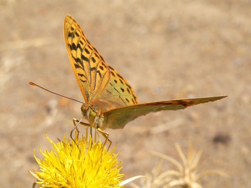 Facce di farfalle...