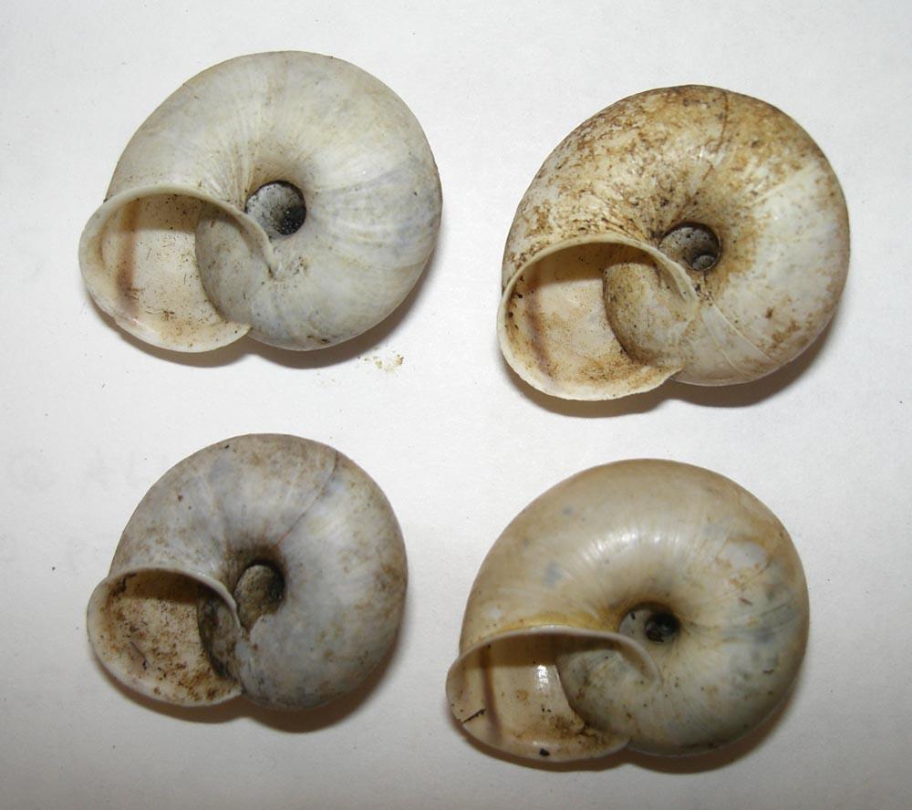 Chilostoma cingulatum da Verona