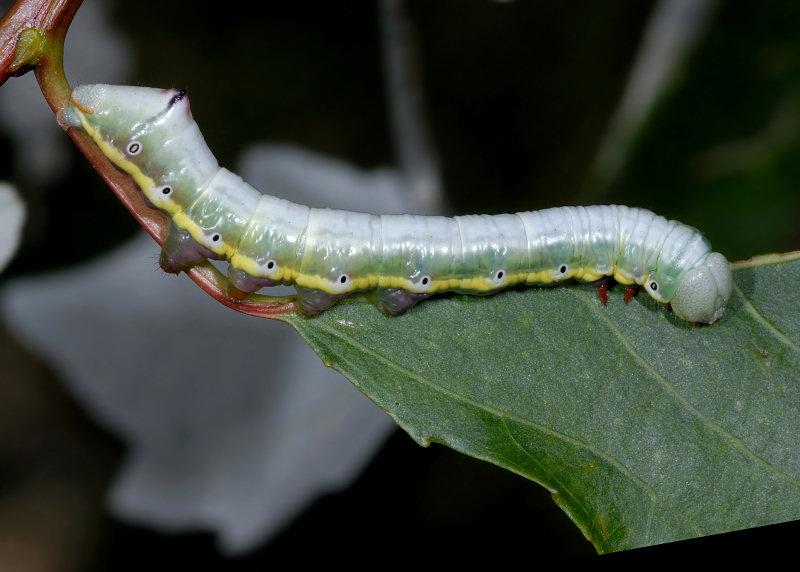 Bruco di Pheosia tremula