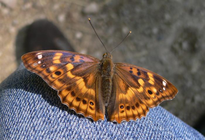 Apatura ilia f. clytie femmina