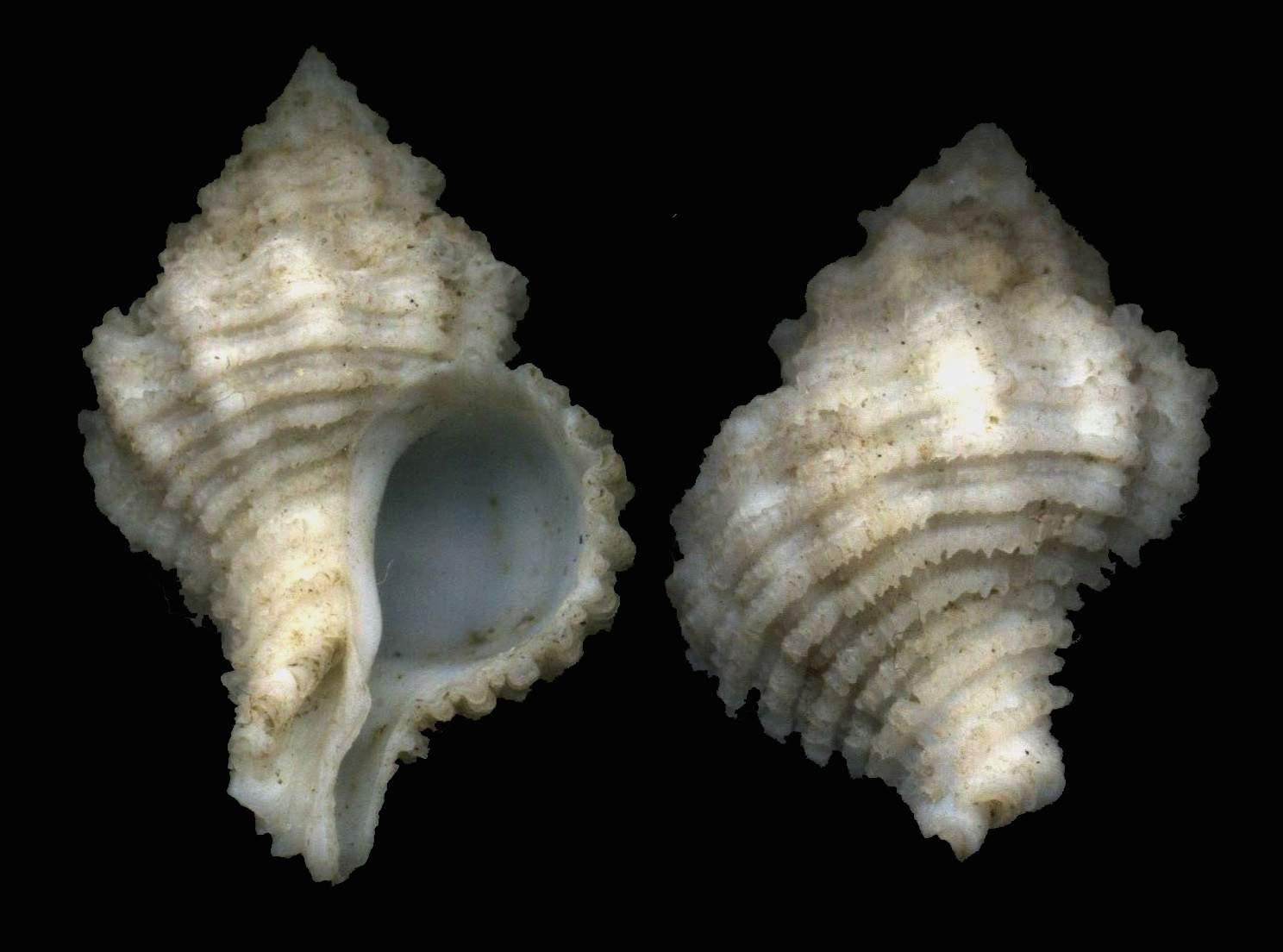 Coralliophila squamosa