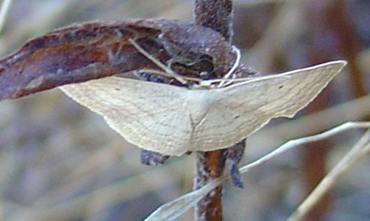 Lasiocampa trifolii