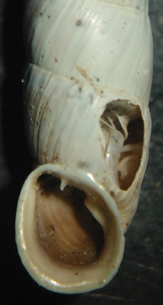 Medora macascarensis (Sowerby,1828) = Medora albescens