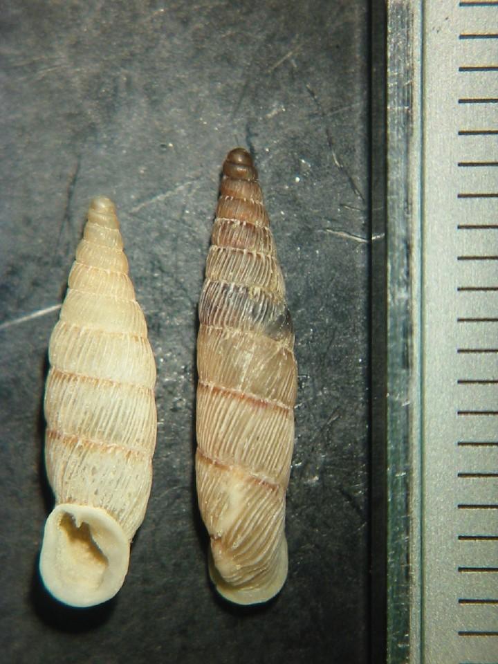Papillifera papillaris (O.F. Müller, 1774)