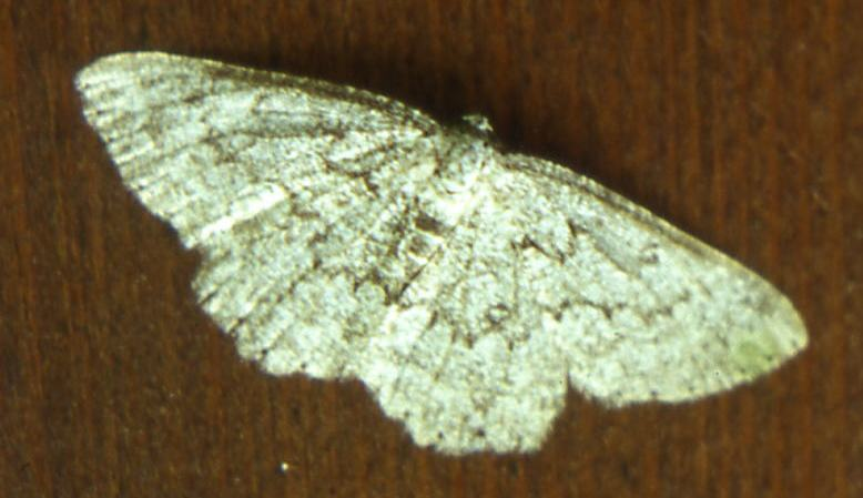 Lepidotteri Geometridae